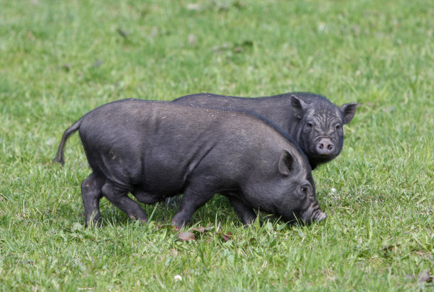 Pot belly pigs as pets submited images - Pot belly pigs as indoor pets ...