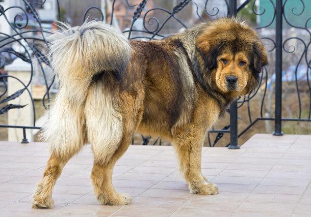 ... great dane mix source http imgarcade com 1 tibetan mastiff great dane