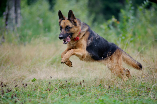 Image result for german shepherd in action