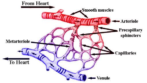 Veins Arteries Capillaries Arteries Venule Capillaries