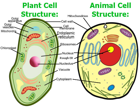 Animal Cells Images as Either 'animal' Cells