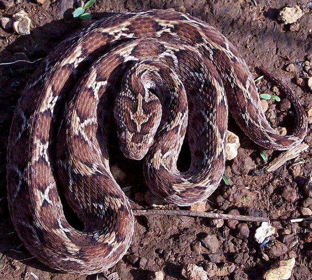 Carpet Viper Snake