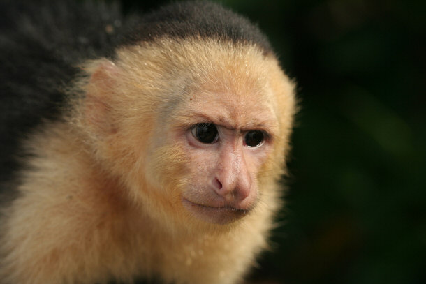 White Faced Capuchin Facts White-faced Capuchin Monkey