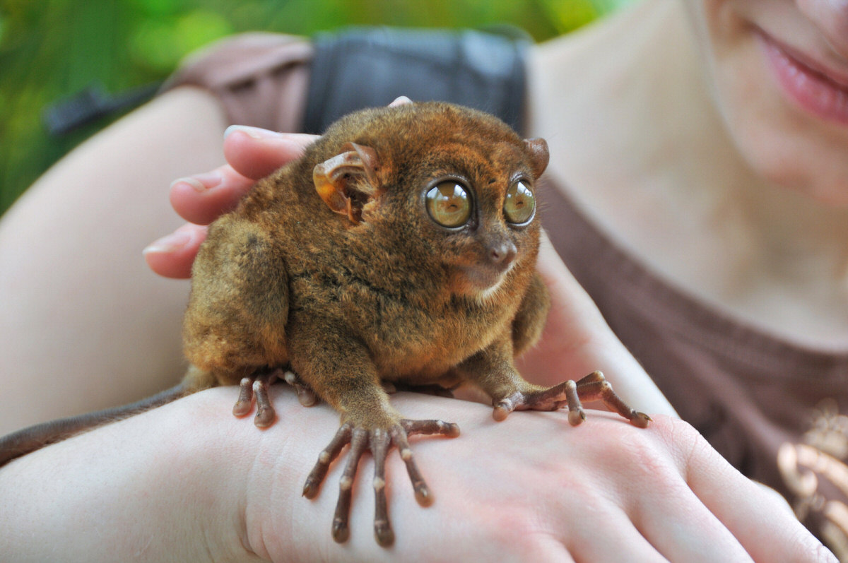 http://www.yurtopic.com/science/nature/images/forest/Tarsier--smallest-primate-lrg.jpg