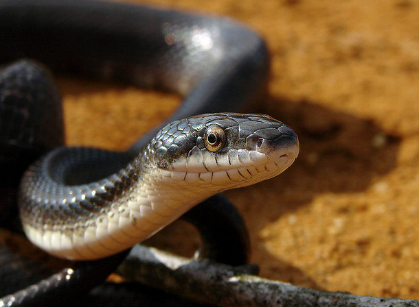 yellow mamba snake - photo #40