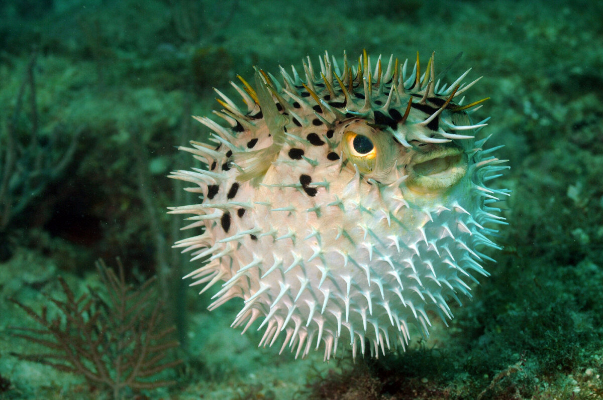 15 of the most venomous creatures to roam the earth for Puffer fish images