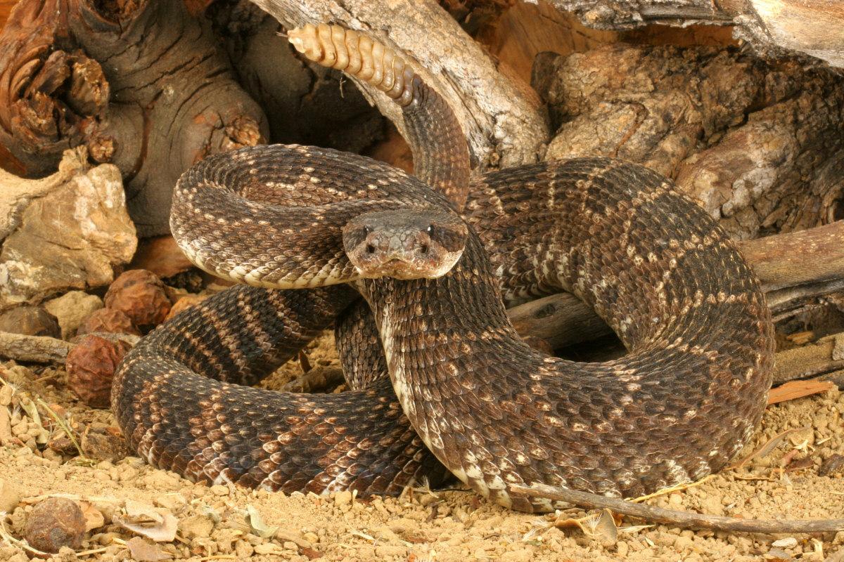 Western diamondback rattlesnake venom - photo#19